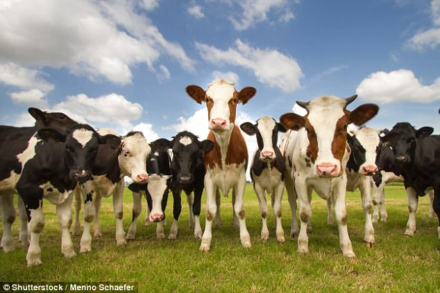 Image result for large group of cows