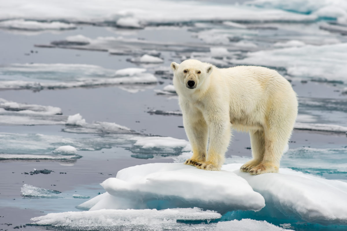 How global warming is affecting Canada's polar bears   Cottage Life